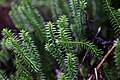Lycopodium annotinum, Les Fourgs - img 42941.jpg