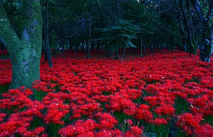 Higan - In Japan the red spider lily signals shūbun, the arrival of fall.  Many Buddhists will use it to celebrate the arrival of fall with a ceremony at the tomb of one of their ancestors.