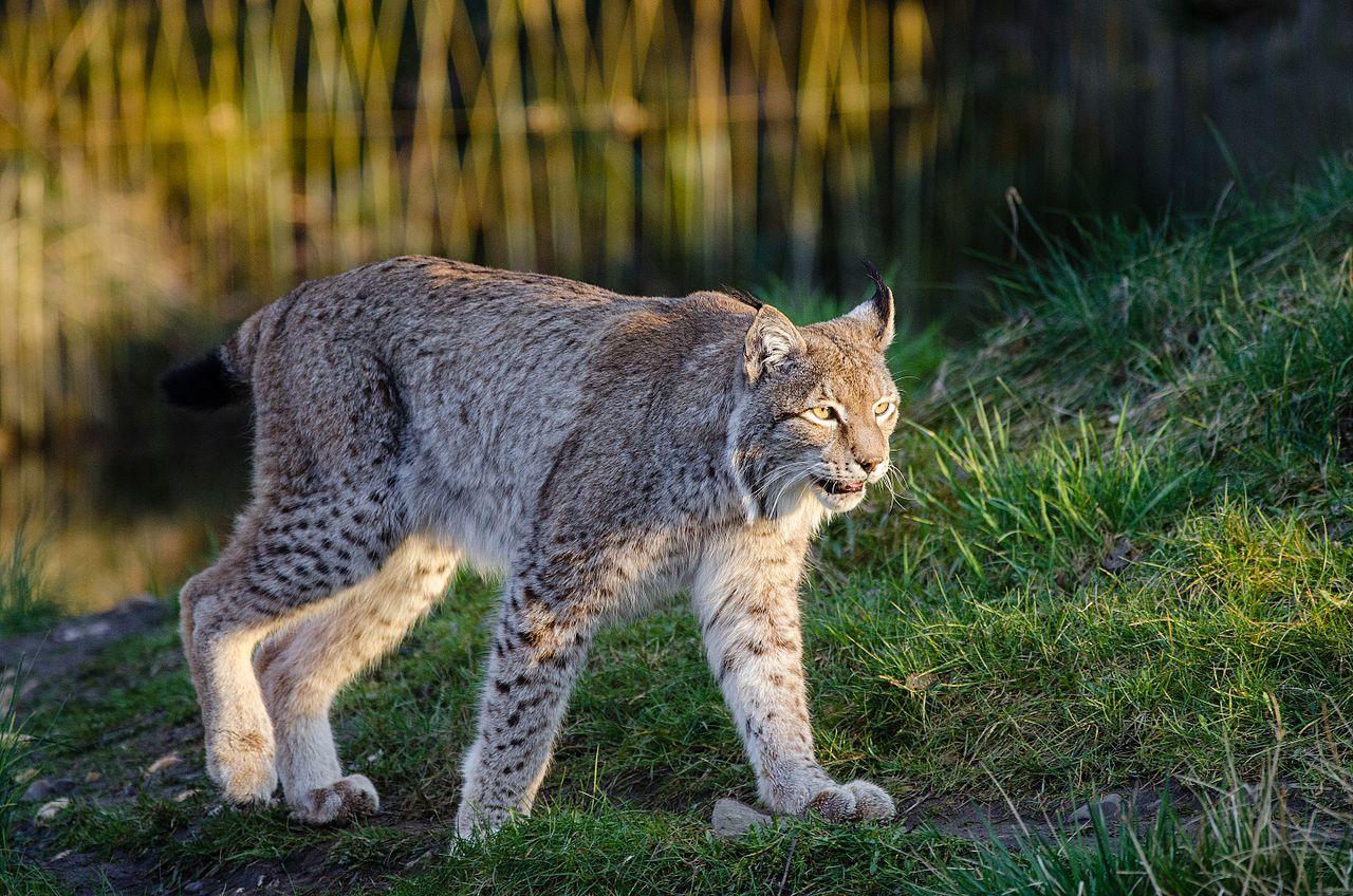 Lynx (16276659784).jpg