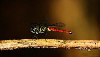 <i>Lyriothemis defonsekai</i> species of insect