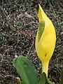 Lysichiton americanus 2016-05-02 01.jpg