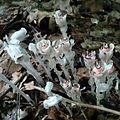 M. uniflora.jpg
