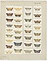 MA I437606 TePapa Plate-VII-The-butterflies full.jpg