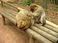 Macaque de Gibraltar (Macaca sylvanus) (12).jpg