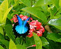 Macinate - Ulysess butterfly in flight (by).jpg