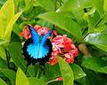 Macinate - Ulysess butterfly in flight (by).jpg