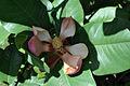 Magnolia delavayi flower.jpg