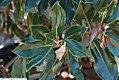 Magnolia grandiflora Little Gem 9zz.jpg