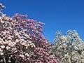 Magnolias at National Arboretum (25695950400).jpg