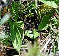 Maianthemum trifolium c (16156672539).jpg