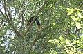 Malabar giant squirrel nilgiris.jpg