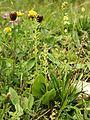 Malaxis monophyllos plant270603.jpg