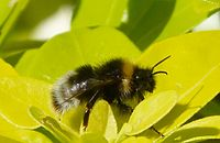 Male Bombus sylvestris. Forest Cuckoo Bee - Flickr - gailhampshire.jpg