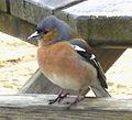 Male chaffinch.JPG