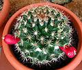 Mammillaria mammillaris.jpg