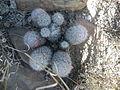 Mammillaria pottsii (5729771790).jpg