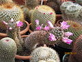Mammillaria species (3644538213).jpg
