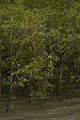 Mangrove - Godkhali - South 24 Parganas 2016-07-10 4930.JPG