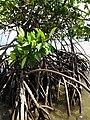 Mangrove - panoramio (3).jpg