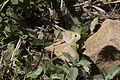 Maniola telmessia - Doğu çayıresmeri 08.jpg