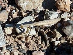 Mantis-1.jpg