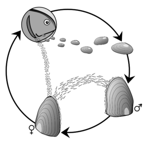 Reproductive circle of the Freshwater Pearl Mussle