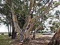 Mawson Lakes SA 5095, Australia - panoramio (5).jpg
