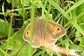 Meadow brown (NH) (15857383922).jpg