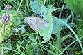 Meadow brown (NH) (7911598232).jpg