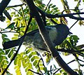 Melaniparus fasciiventer (cropped).jpg