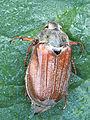Melolontha melolontha female, meikever vrouwtje rugzijde.jpg