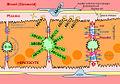 Membrane proteins of the polarized hepatocytes.jpg