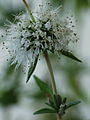 Mentha cervina flower 2.jpg