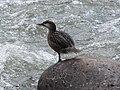 Merganetta armata (Pato de torrente) - Hembra juvenil (14253279824).jpg