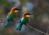 Merops leschenaulti by N.A. Nazeer.jpg