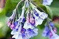 Mertensia virginica 4zz.jpg