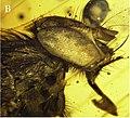 Mesembrinella caenozoica head profile view.jpg