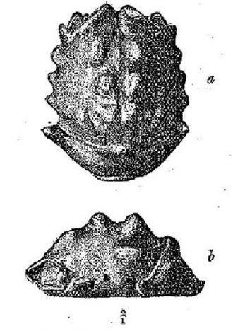 Caroline Birley - Mesodromilities birleyi – fossil crab discovered by Caroline Birley