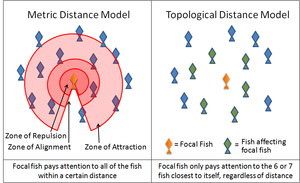 Collective animal behavior - A diagram illustrating the difference between 'metric distance' and 'topological distance' in reference to fish schools