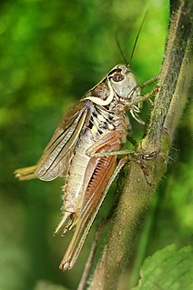 Orthoptera order of insects (Insecta) including grasshoppers, crickets, weta and locusts