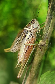 Metrioptera roeseli male Richard Bartz.jpg