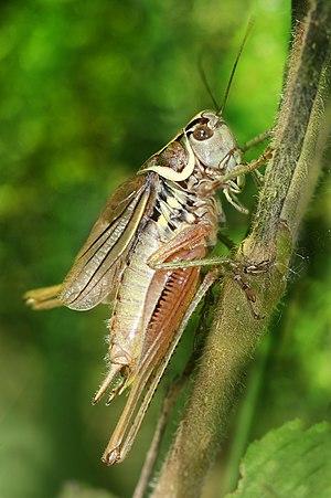Roesel's bush-cricket - Image: Metrioptera roeseli male Richard Bartz