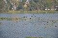 Migratory Birds - Santragachi Lake - Howrah 2013-01-25 3577.JPG