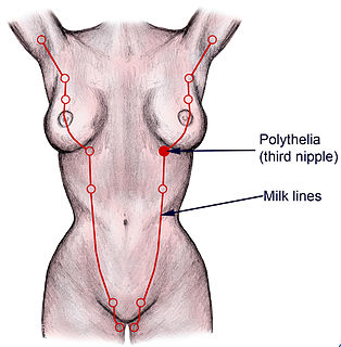 Mammary ridge Primordium specific for the development of the mammary gland