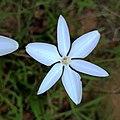 Milla biflora (Familyː Asparagaceae).jpg
