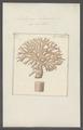Millepora alcicornis - - Print - Iconographia Zoologica - Special Collections University of Amsterdam - UBAINV0274 111 07 0008.tif