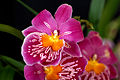 Miltonia at the Pacific Orchid Exposition 2010 2.jpg
