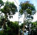 Mimosa cubatanensis.jpg