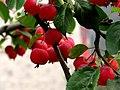 Mini apples 海棠 (6237029279).jpg