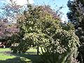 Mispelbaum.jpg